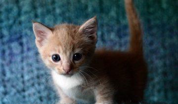 Котенок манчкин так мило пытается что-то объяснить…