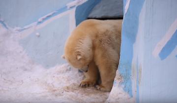 Белая медведица в первый раз вывела своего малыша на прогулку