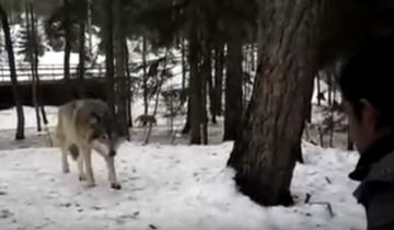 Встреча с волками грозит мучительной смертью