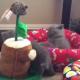 Маленькие британские котята
