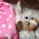 Пробуждения очаровательного щенка корги