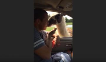Вот что может произойти, если отказать ламе в обнимашках!