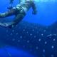 Аквалангисты надолго запомнят эту неожиданную встречу с китовой акулой