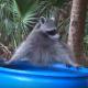 Топ смешных видео о енотах