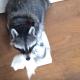 Енот дает салфетку своей хозяйке