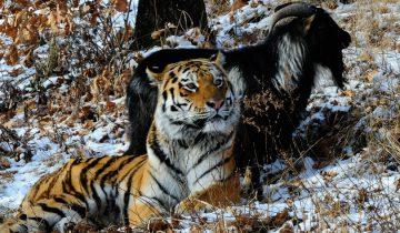 Тигр Амур и козел Тимур – лучшие друзья