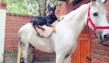 Люди зовут этого добермана «заклинателем лошадей»