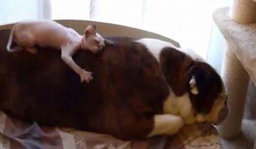 Котенок сфинкса хочет подружиться с бульдогом!