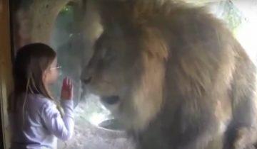 Маленькая девочка решила поцеловать льва