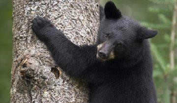Охотник отпугнул медведя вопросом «Что ты делаешь?»
