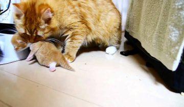 Кошка собиралась рожать. То, как себя повел папа-кот, удивило всех!