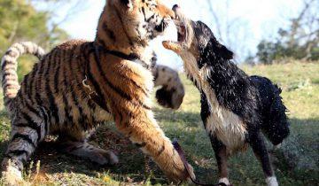 Тигр впервые видит собаку!