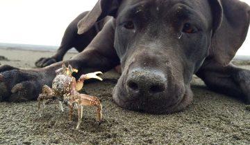 Собака играет с крабом на пляже