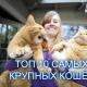 Рейтинг самых больших кошек!
