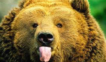 Смешные медведи в действии