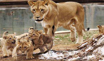 К осиротевшему льву подселили маленькую таксу