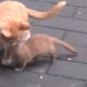Ласка очень хочет поиграть с котенком. Что она делает?