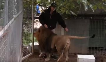 Когда человек вошел в вольер к этому льву, животное…