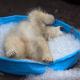 Полярный медвежонок спасается от жары