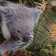 Необычная дружба бабочки и коалы
