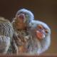 Самая маленькая обезьяна в мире привела детенышей!