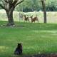 Олени мирно гуляли на лужайке. Посмотрите, что сделал кот!