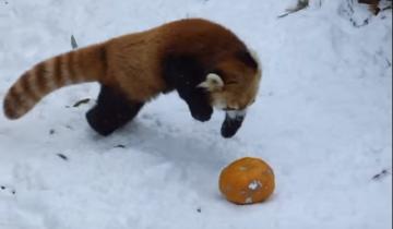 Красная панда играет с тыквой на снегу