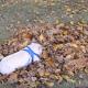 Поросенок резвится в куче листьев
