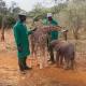 Детеныши слона и жирафы стали лучшими друзьями
