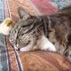 Цыпленок прячется коту под голову