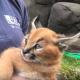 Два детеныша каракала из зоопарка впервые исследуют окружающий мир