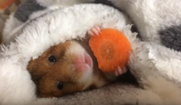 Маленький хомячок грызет морковку