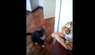 Кот возненавидел игрушечного тигра