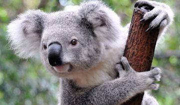 Две коалы не могут договориться!