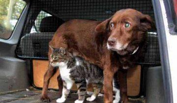 Кошка-поводырь для слепой собаки