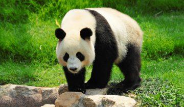 Симпатичные панды не хотят принимать лекарства