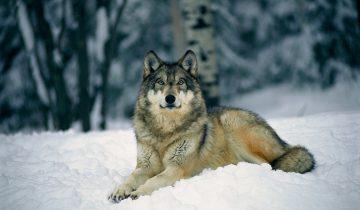 Волки — не люди, но они лучше многих людей…