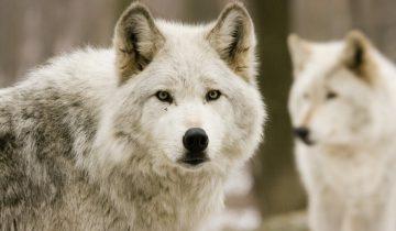 12 волчат набросились на беззащитную девушку!