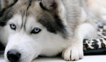Хаски приказали отправляться в будку, как отреагировало животное?