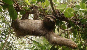 Ленивец плавает в поисках самки