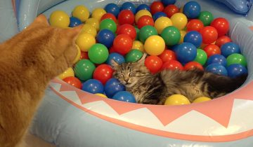 Кошки играют в бассейне с шариками
