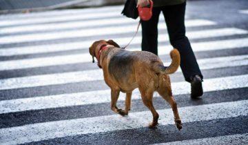 Человек и собака на пешеходном переходе