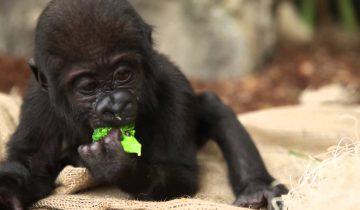 Детеныш гориллы ест брокколи
