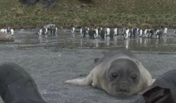 Отважный детеныш тюленя впервые встретил человека