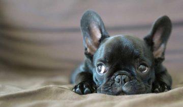Как уложить спать щенка французского бульдога