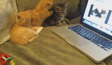 Котята смотрят «Занимательный диалог двух кошек»