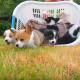 Корзина полная щенков вельш-корги