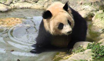 Большая панда купается в маленькой ванне