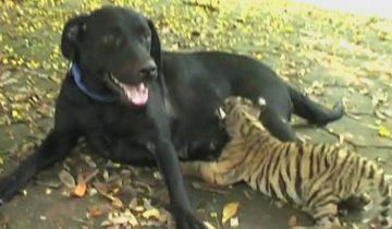 Собака «усыновила» тигренка