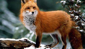 Вот, как на самом деле звучат лисы